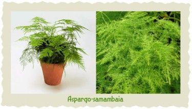 aspargo-samambaia-0k