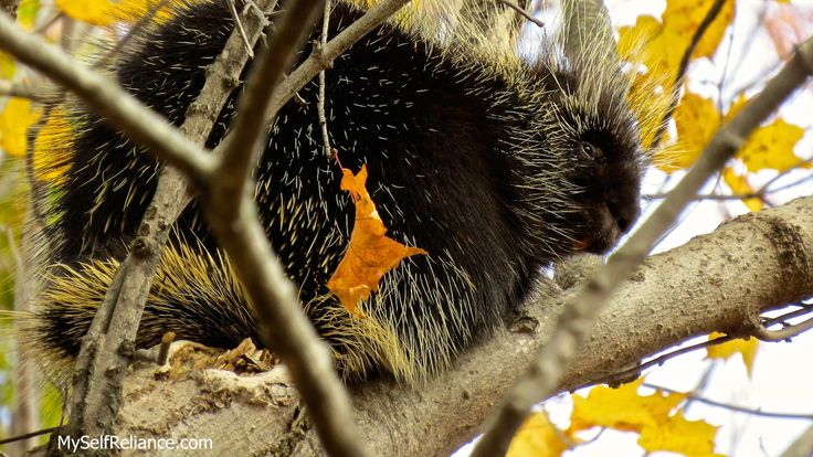 This cute little porcupine was resting in a huge oak tree in Simcoe Forest.
