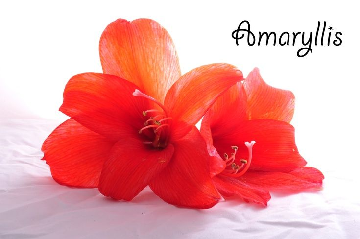 ARTFINDER: Amaryllis by Randi Grace Nilsberg - High key photo of an Amaryllis.
