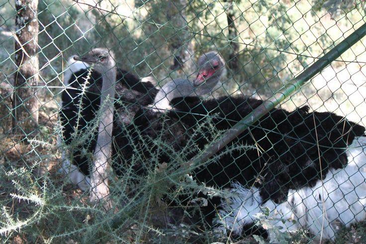 Macho y hembra de avestruz copulando en las instalaciones del Parque Zoológico Ornitológico de Avifauna.