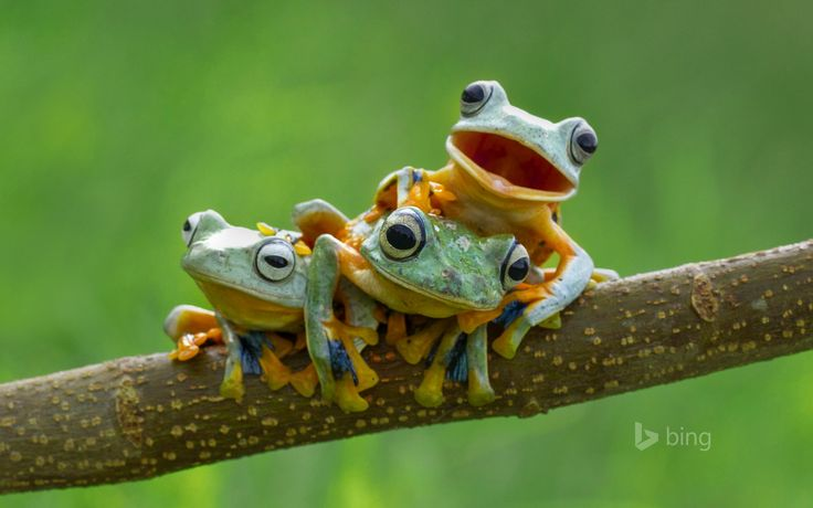 Also known as green flying frogs, or Reinwardt's tree frogs, these amphibians have one feature that sets them apart: The webbing between their toes that helps them glide through the air.  While most frogs use their webbed feet exclusively for swimming, black-webbed tree frogs, and other frogs in their genus, use the extra surface area like a sort of built-in hang glider. Opening their feet wide as they leap from tree to tree, they can cover a little more distance than they might otherwise be…