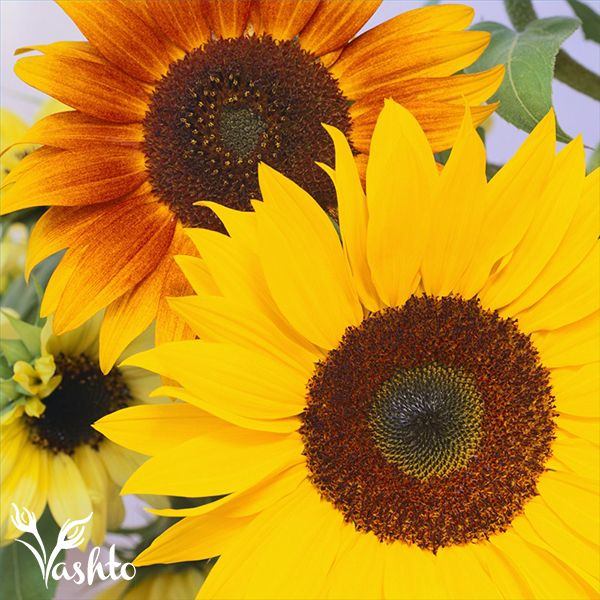 SUNFLOWERS - Are an all year round crop, showing off a big head size in Summer and naturally smaller in winter because of the cold, but still providing cheerfulness in your home.
