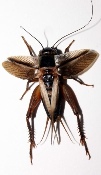 A flatwing cricket that carried on an adaptation that prevents it from making sound but allows it to avoid parasitoids. (Image source: Nathan Bailey)