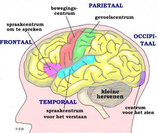 locatie van spiegelneuronen in hersenen afbeeldingen - Google zoeken