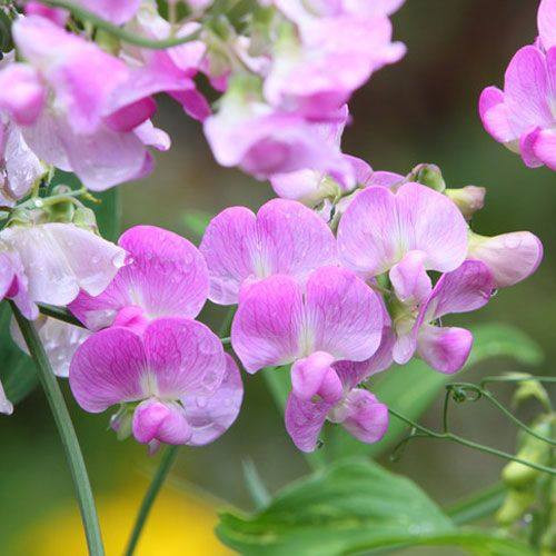 Sweet Pea: Our Sweet Pea is delicate and yet strong enough to hold up in Cold…