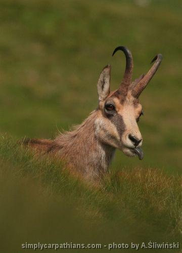 Chamois (Polish: kozica, Slovak: kamzík) - a fascinating mountain animal which lives in the Carpathians.   www.simplycarpathians.com