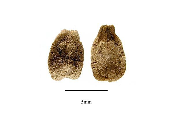 http://www.ars-grin.gov/npgs/images/sbml/Gonolobus_edulis_seeds.jpg