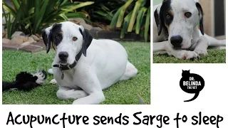 Acupuncture sends Sarge to sleep - too cute!