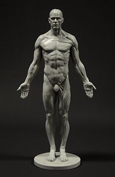 Anatomically correct male figure