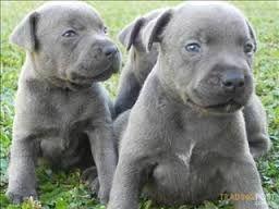 Blue English Staffy Pups