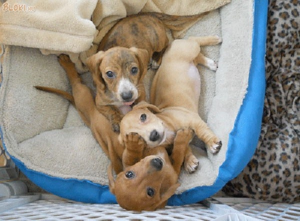 Pin by Ildikó Sz Baranyi on Doxie Love Dachshund puppies