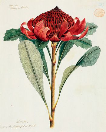 love the modern starkness of the scientific botanical illustration. Waratah, Telopea speciosissima     Port Jackson Painter  Watercolour, c1788 - 1797, © Natural History Museum  Watling collection. The Waratah has been the official floral emblem of New South Wales since 1962.