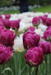 Tulips are widely used as bedding plants in both formal and informal gardens to give vibrant colour and impact to the spring garden. Plant Tulip bulbs in drifts among perennials and in pots.
