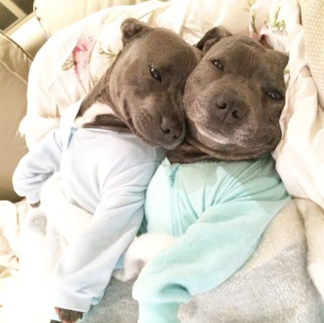 Adorable Bull Terriers Have Cuddle-Filled Pajama Parties