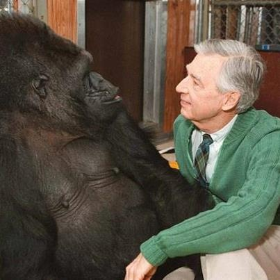 Apparently Koko, the gorilla who could use sign language, was a big fan of Mr. Rogers, a really BIG fan. From Our Beautiful World & Universe FB page.