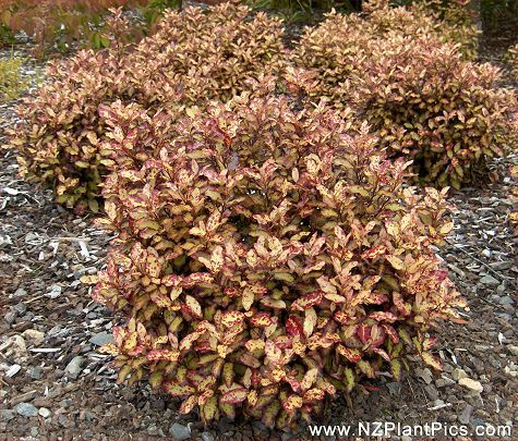 Pseudowintera 'Red Leopard' is a hardy plant and tolerant of cold climates