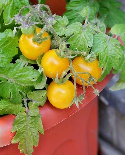 Sănătatea de acasă – ierburi aromatice și legume la ghiveci | CasaMea.ro