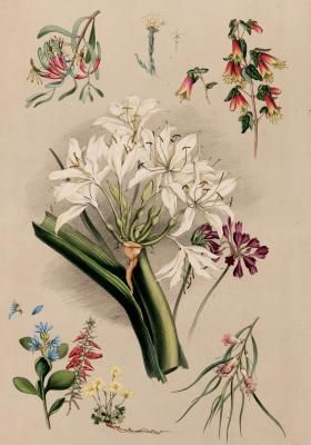 ANGAS, George French Australia, 1822 - 1886 South Australian botany, native flowers plate 55 from 'South Australia Illustrated'.