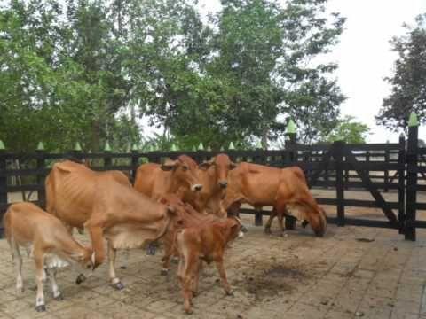 novillas rojas y vacas paridas rojas (+lista de reproducción)
