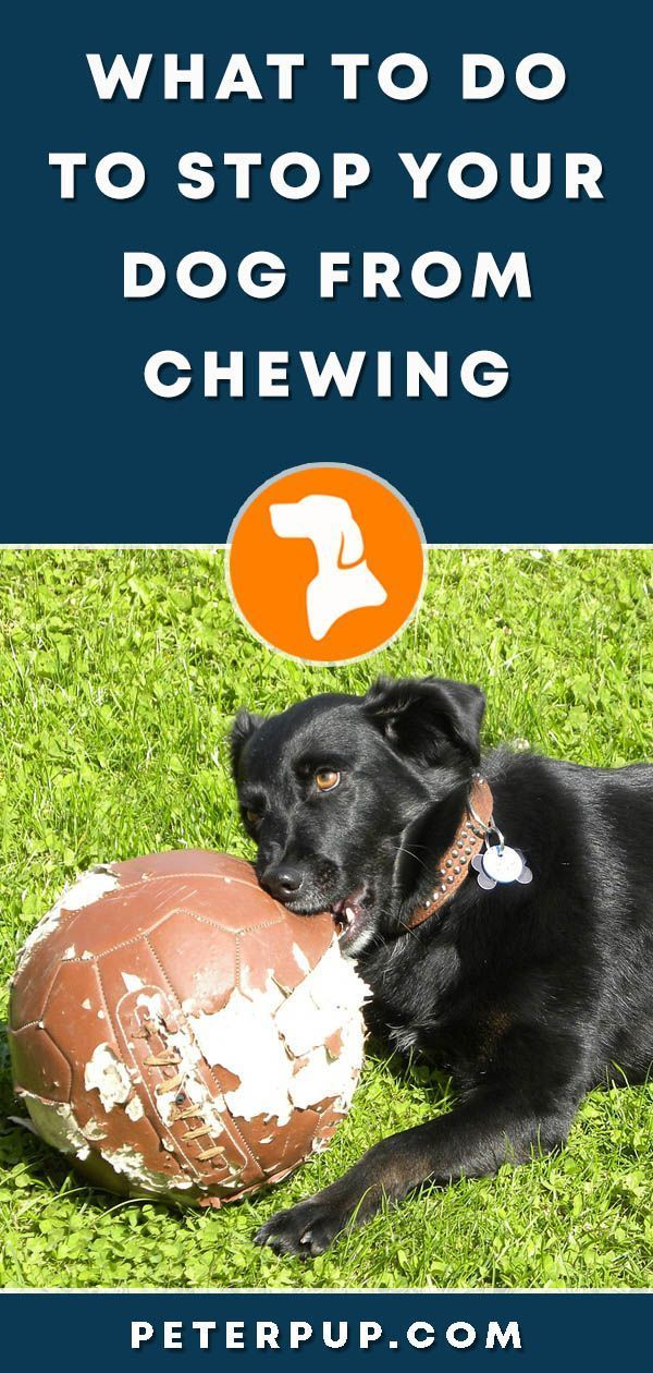 What To Do To Stop My Dog From Chewing Dog Training Tips Dog