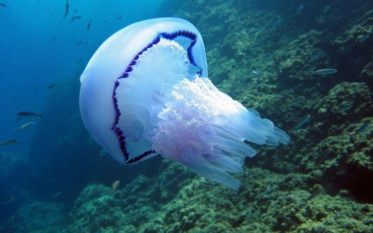 Água-viva gigante é vista em mares britânicos [vídeo]