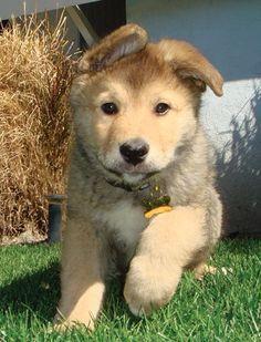Husky And Golden Retriever Mix Puppies