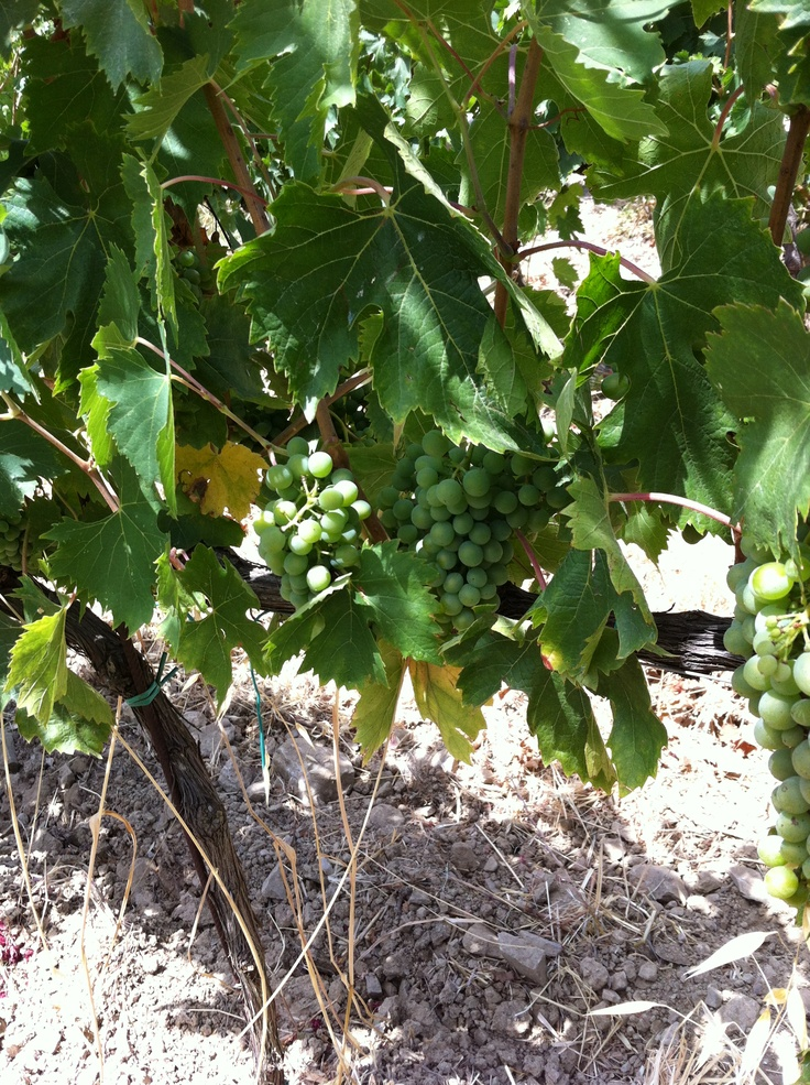 Our lovely sangiovese grapes enjoying the sun http://www.tenutacorsignano.it