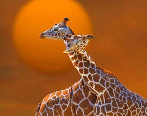 hugs: Photos, Animals, Sweet, Nature, Hug, Beautiful, Creatures, Things, Giraffes