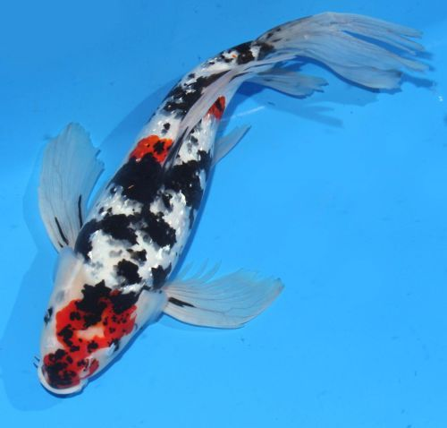 Live koi fish 15 16 gin rin sanke butterfly red white for Red and white koi fish