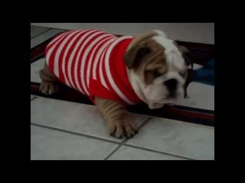 Bulldog Puppies are the cutest Puppies ever! Funny Dog Vine Compilation - YouTube