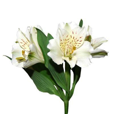 Flores astromelias