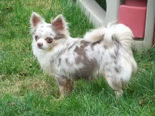 Lavender Merle Chihuahua Long Coat Chihuahua Dogs Mixes