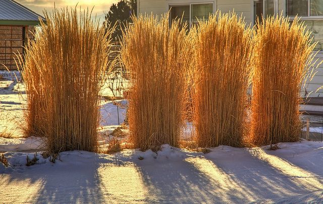 Karl Foerster grass in winter. would make a great divider all year long!