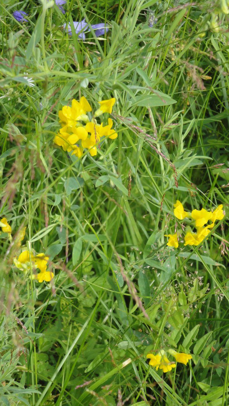 Niittynätkelmä / Meadow vetchling or Meadow pea (Lathyrus pratensis)