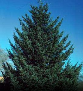 Douglasfir  Pseudotsuga menziesii var. glauca    Needles are Bluish Green  Pyramid Shape and Straight Trunk  Naturally Deer Resistant: Seldom Severely Damaged  Good in Windbreaks and Living Snow Fences  40' to 70', with 12' to 20' Spread  Zones 4 to 6
