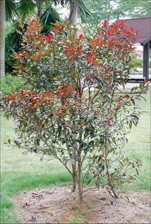 Kelat Paya Merah (Eugenia syzygium paniculatum). Sejenis pokok renek yang boleh menjadi pokok sederhana menjangkau ketinggian 20 meter tinggi. Warna daun berwarna merah dan saiz bentuk kecil memanjang serta  batang yang kecil. Ditanam di ruang terbuka atau separa teduh. Penanaman kaedah biji benih. Juga sebagai tanaman pagaran.