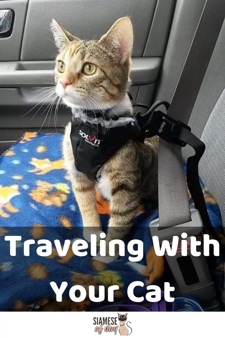 How To Travel With Your Cat In The Car Siamese Of Day In 2020 Cats Cat Travel Kitten Care