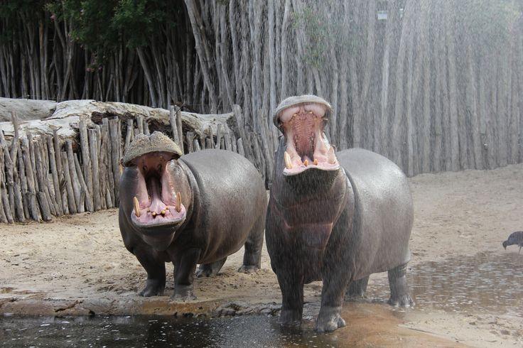 Happy Friday from the hippo family at Werribee Open Range Zoo!