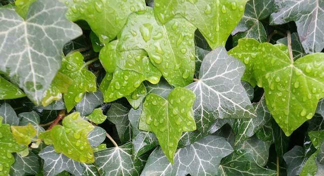 Klimop Planten Voor In De Tuin - Hoe krijg je een mooie groene muur? Plant hedera in de tuin. Daarnaast kun je klimop ook als bodembedekker gebruiken wat indirect ook onkruid tegenhoudt.  Lees hier hoe je stap-voor-stap Hedera Helix kunt planten in jou tuin.