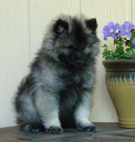 keeshond puppy!! oh sooooo cute