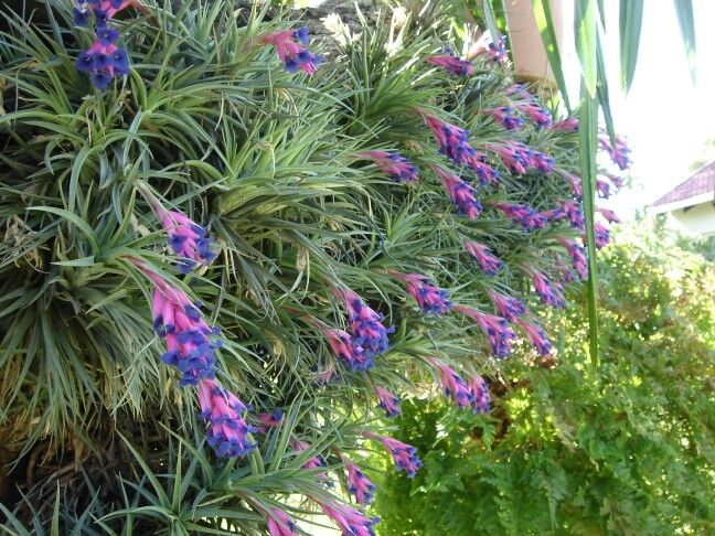 62 best my south african garden images on pinterest for Oxygen plant