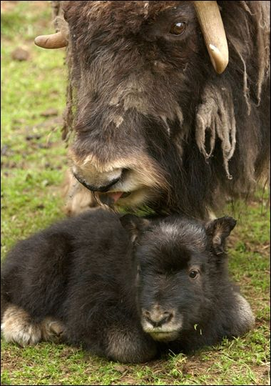 Mama and baby Musk Ox.  I'd love to knit up something from their fur.
