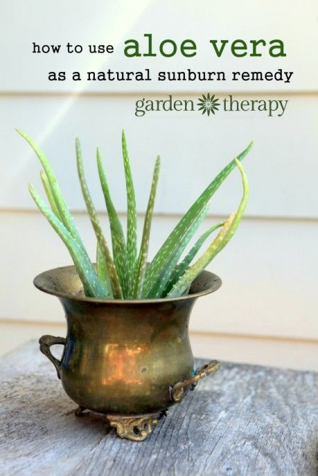 Growing aloe vera plants and using them as an anti-inflammitory for the skin, especially for sunburn treatment