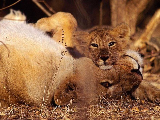 Matthias Klum asiatic lion | Amazing National Geographic images | World Travel Pictures, Australia Travel Pictures | PerthNow  BEAUTIFUL