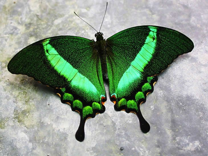 Green Banded Swallowtail <3