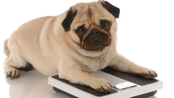 Cómo hacerle perder peso a tu perro