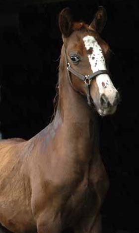 ANCAN SPLASH OF COLOR (Ancan True Colors x FCF Lady Victoria), 2005 chestnut gelding, pictured as a weanling.