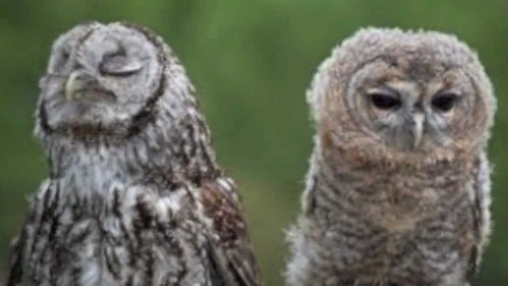 """The Owl Song"" by The Whizpops! Learn fun facts about owls in your classroom or at home! Listen to more Whizpops songs at http://www.thewhizpops.com or on it..."