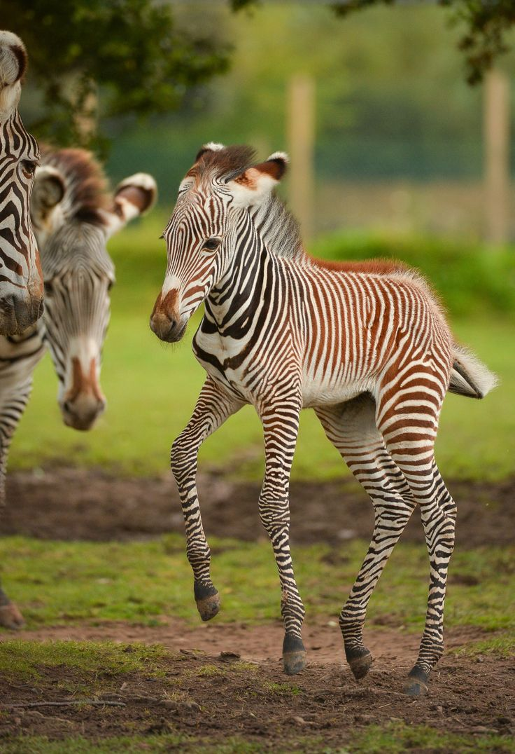 Second Grevy S Zebra Of The Season For Chester Zoo