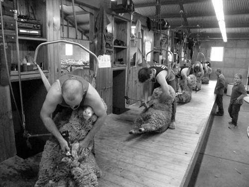 Shearing at Batesworth
